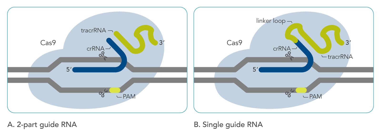 Cas9 art A. 2-part guide RNA  B. Single guide RNA