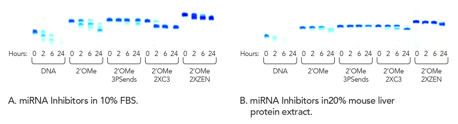 Modified miRNA Inhibitors show nuclease resistance