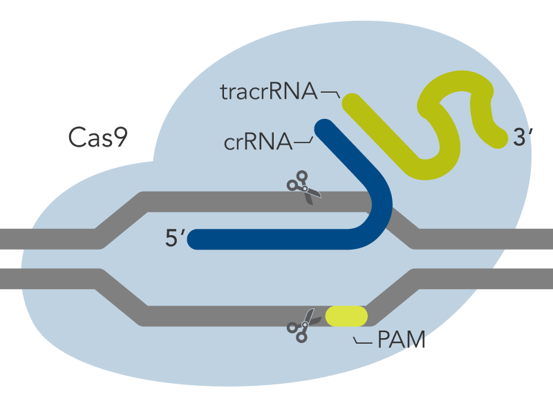Components of the Alt-R CRISPR-Cas9 kit.