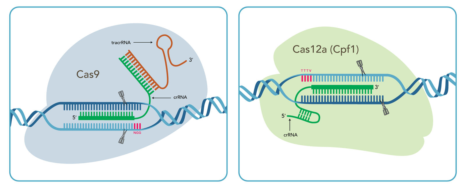 Compare Cas9 vs. Cpf1 CRISPR genome editing technology to optimize your CRISPR DNA editing experiments.