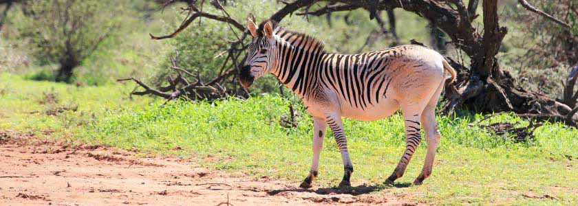 Was the extinct quagga a genetically distinct species? hero image