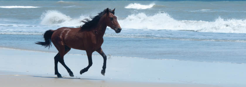 Testing Arabian horses and the wild horses of North Carolina hero image