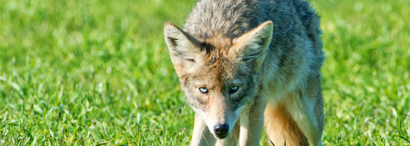 From the coast of California, a startling discovery: blue-eyed genetically mutant coyotes hero image