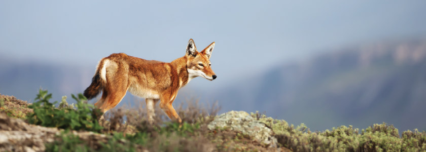 Genomics steps in to help preserve Africa's rarest carnivore—the Ethiopian wolf hero image