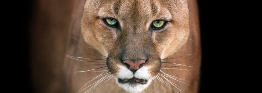 Pretty, threatened: Southern California's mountain lions face serious long-term survival challenges hero image
