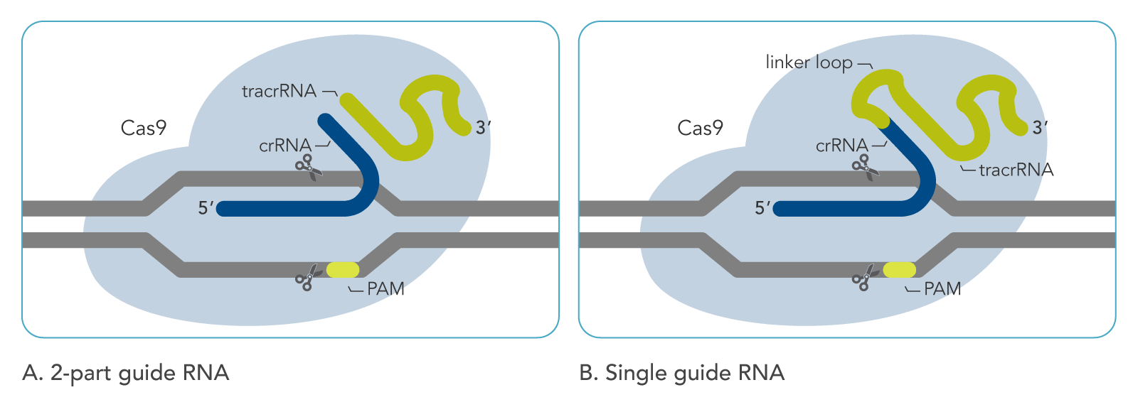 Cas9 art A. 2-part guide RNA  B. Single guide RNA