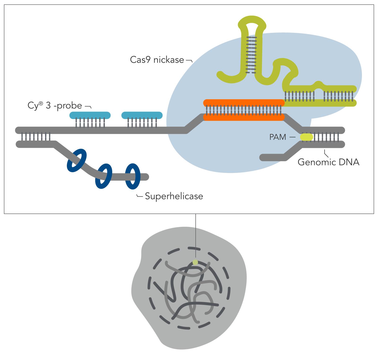 21_GE_FIG_DECODED_Genomic-Oligopaint-with-oPools_F