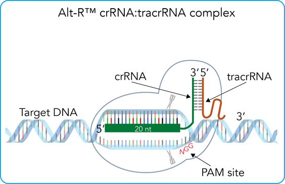 Components of the Alt-R™ CRISPR-Cas9 System for directing Cas9 endonuclease to genomic targets.