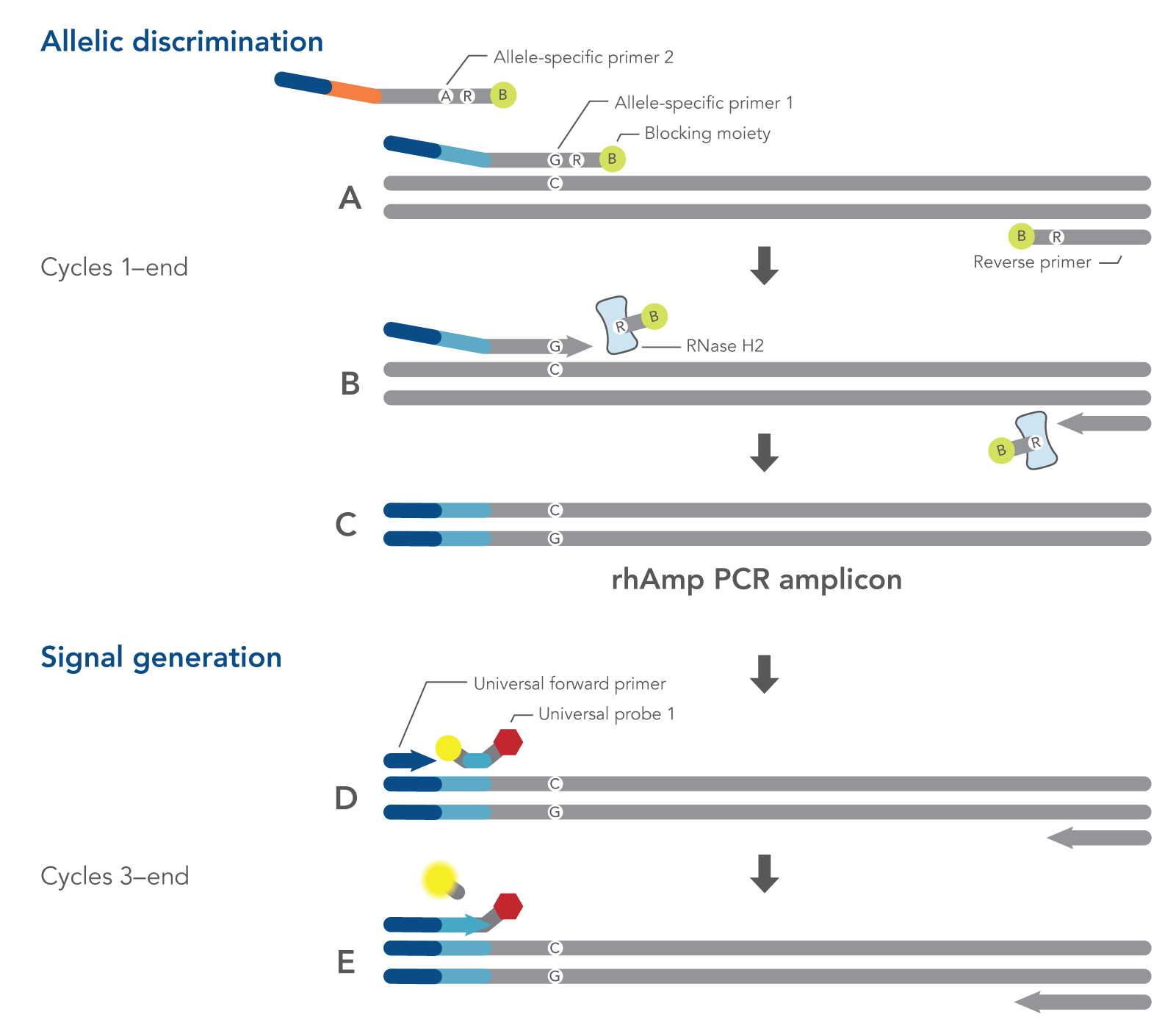Schematic representation of rhAmp SNP genotyping PCR