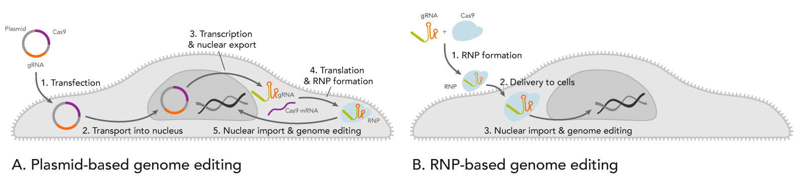 CRISPR plasmid transfection slows genome editing compared to direct RNP introduction.