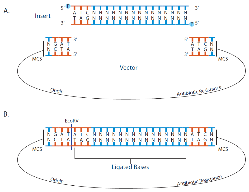 Blunt end dna cloning and ligation using EcoRV and dephosphorylated vectors.