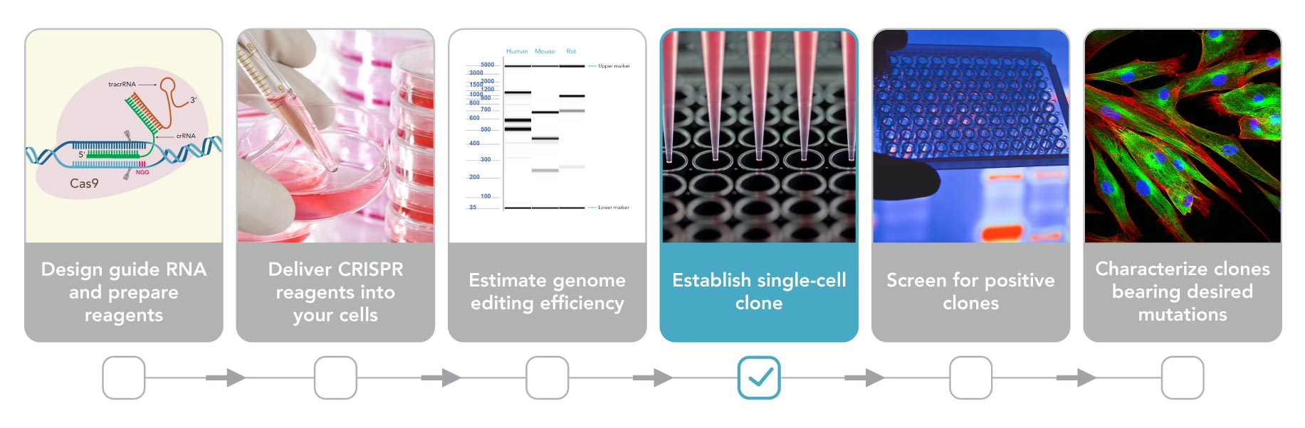 Genome editing: Isolating clones for genotypic and