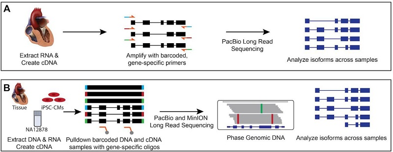 Strategies for investigating alternative splicing and phasing in cardiovascular disease genes