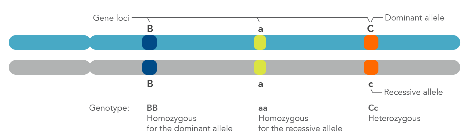 Zygosity is defined by whether a genotype is homozygous (dominant or recessive) or heterozygous.