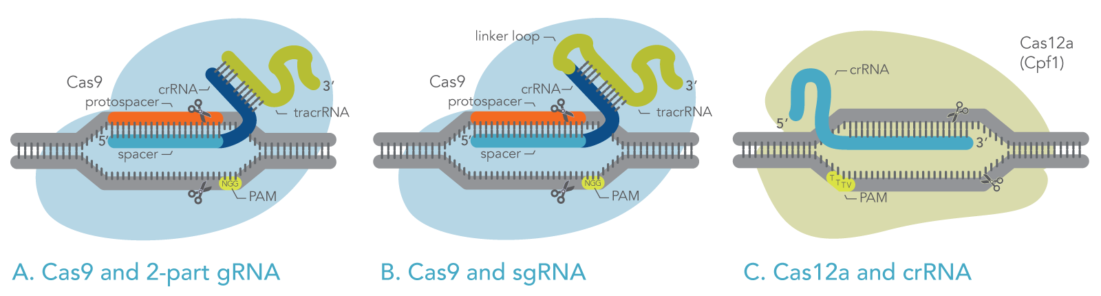 Schematic of Cas9 and Cas12a with their guide RNAs