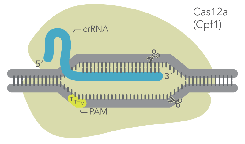 Cas12a mechanism: Cas12a binds to crRNA which targets a genomic site