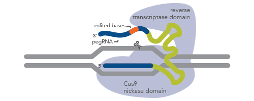 CRISPR prime editing requires a long guide RNA and a Cas9 nickase–reverse transcriptase fusion protein