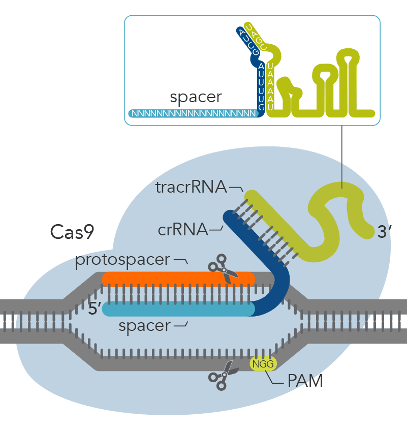 Cas9 detail with PAM site