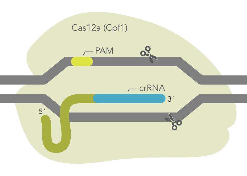 Cas12a (Cpf1) ribonucleoprotein complex
