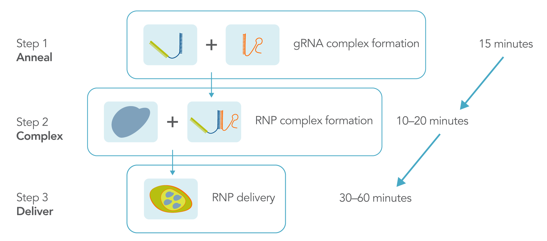 transfection-of-ribonucleoprotein-in-crispr-experiments