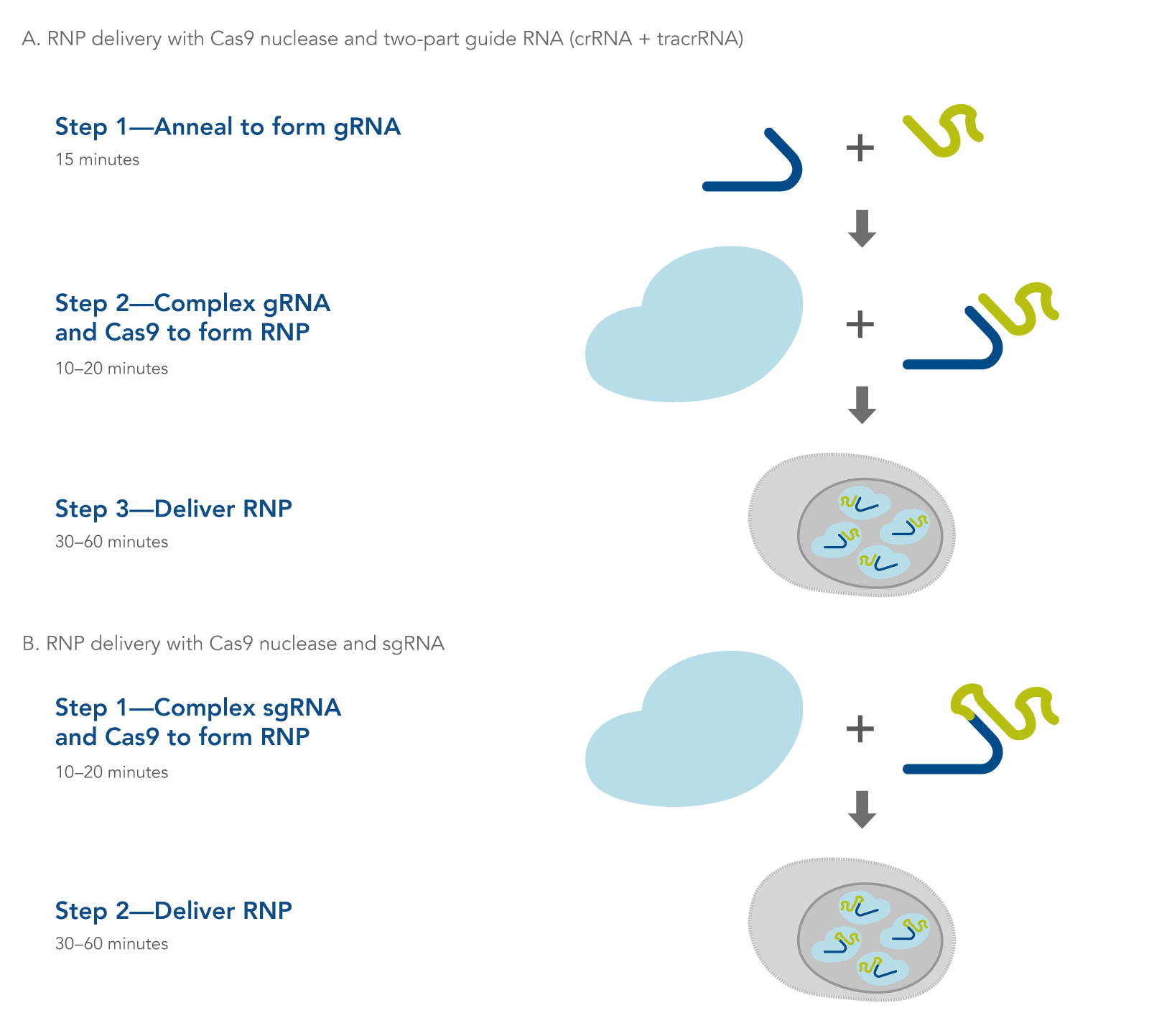 Transfection of ribonucleoprotein in CRISPR experiments (2-part gRNA and sgRNA)