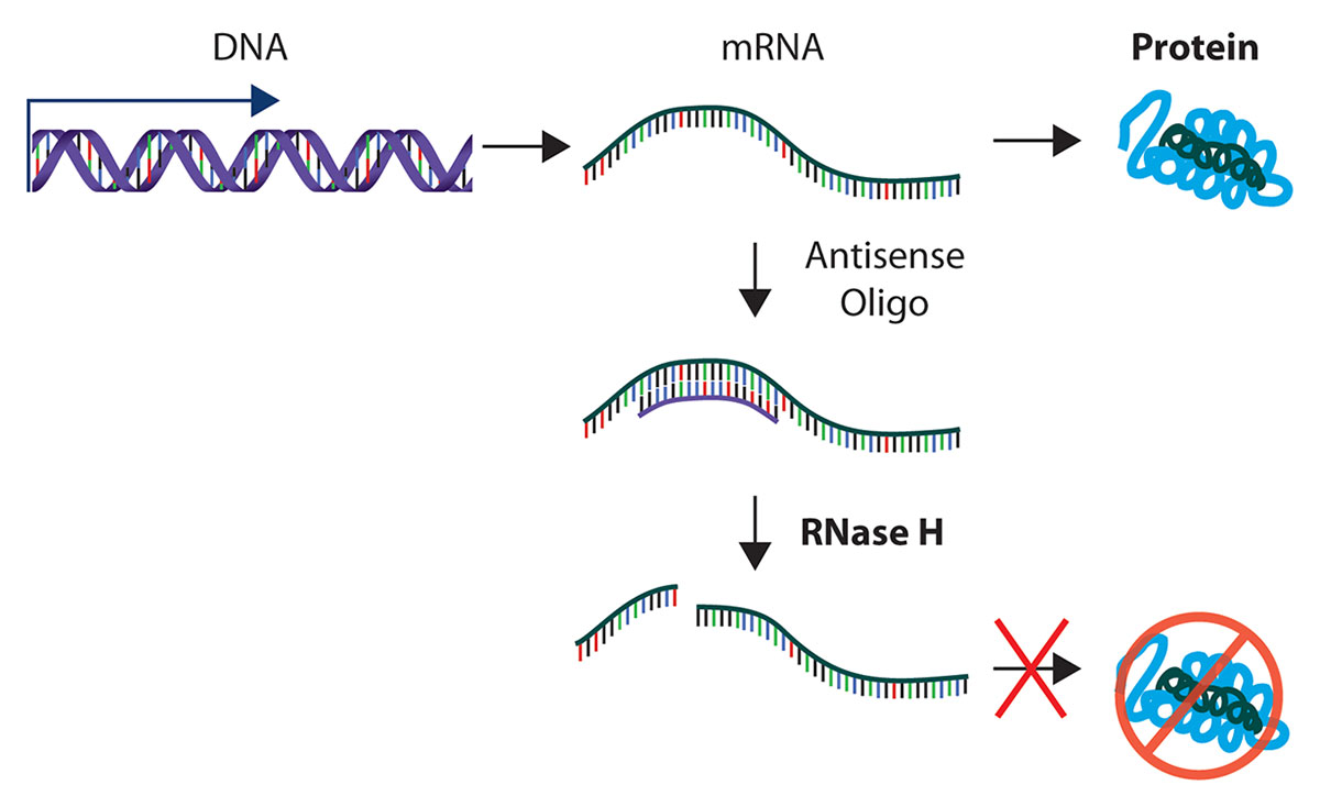 rnase-h-explained