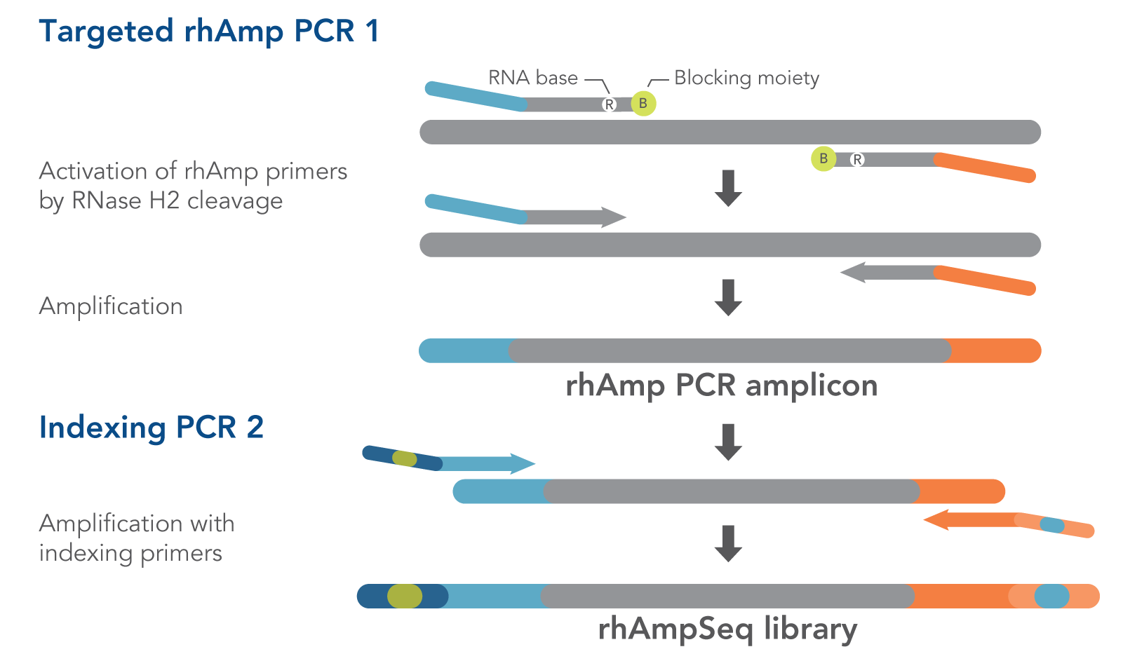 How rhAmpSeq PCRs work