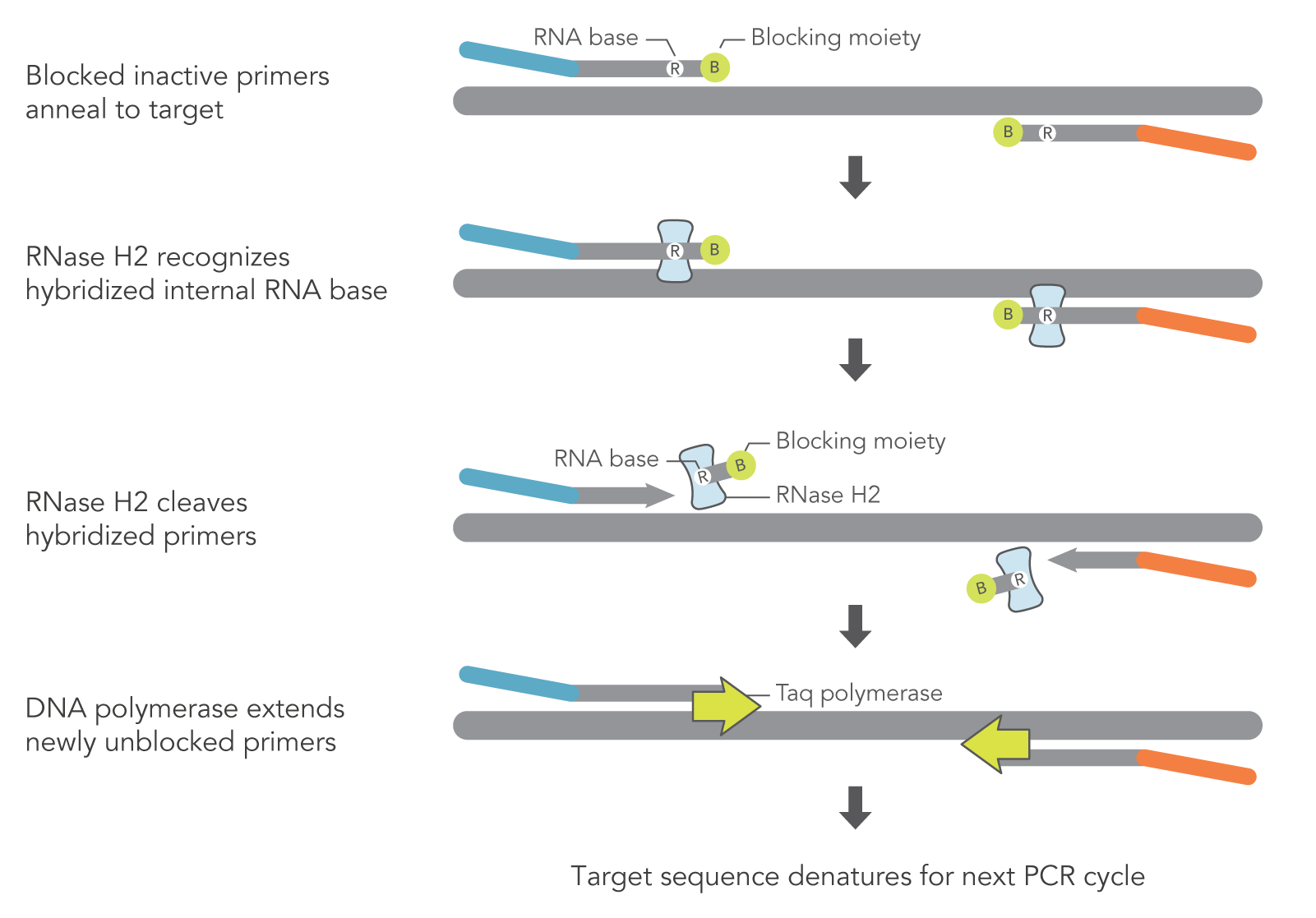 Schematic of how rhAmp PCR works
